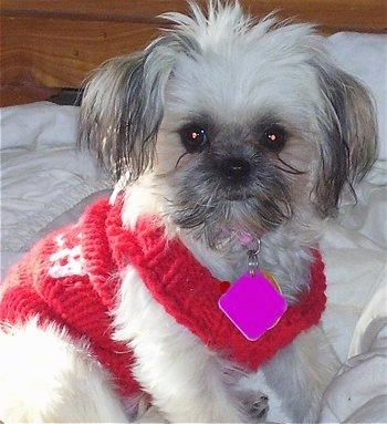 Close up front side view - A fluffy, white with grey ShiChi puppy wearing a red sweater sitting on a bed looking forward. The pup has a bright hot pink dog tag hanging from its pink collar.