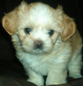 Close up front view - A fuzzy, tan and white ShiChi puppy is standing on a couch, it is looking down and forward.