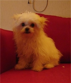 A small longhaired, thick coated, white ShiChi dog is sitting against the arm of a red couch and it is looking forward.