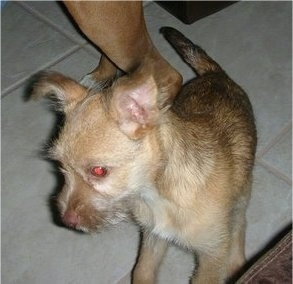 Close up front side view - A ShiChi puppy is standing on a tan tiled floor and it is looking down and to the left. There is a person touching its back.