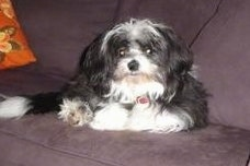 Front view - A longhaired, black and white ShiChi is laying against the back of a couch and it is looking forward.