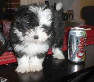 A small fluffy black and white ShiChi puppy is standing on a table, it is looking over the edge next to a diet Coke can.