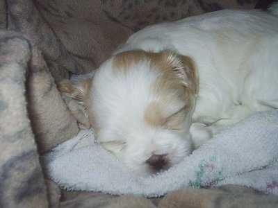 Close up - A tiny young white with tan ShiChi puppy sleeping on a blanket and it is looking forward. The pups eyes are closed.