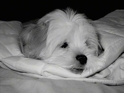 Close up head shot - A black and white photo of a fluffy ShiChi puppy that is laying down on a blanket and it is looking to the right. The dog has an underbite.