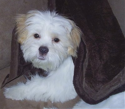 Close up side view head and upper body shot - A thick coated white with tan ShiChi puppy laying across a couch looking forward. Its head is tilted to the right and it is covered in a dark brown blanket. The dog's body is white and its ears are tan. Its round eyes are black.