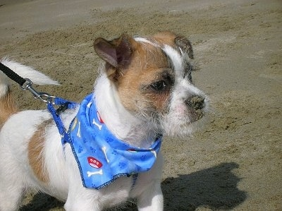 The front right side of a white with brown ShiChi that is wearing a blue bandana at a beach.