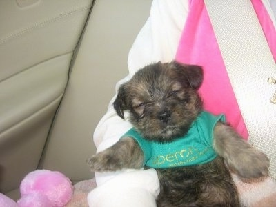 A black and brown ShiChi puppy in a green shirt is laying belly up in the lap of a person sitting in a vehicle. The pups front legs are sticking straight out as if it is stiff.