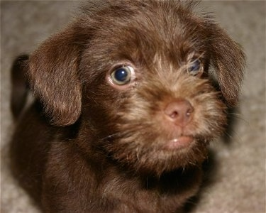 Close up - A brown ShiChi puppy is sitting on a carpet and it is looking up. The dog has longer hair on its snout and looks like a monkey in this face. It has big round green eyes.