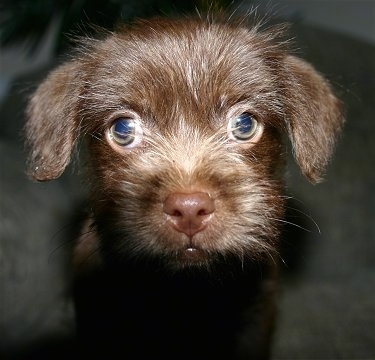 Close up - A browm ShiChi puppy is standing on a carpet and it is looking forward. It has longer hair on its face and big round green eyes.