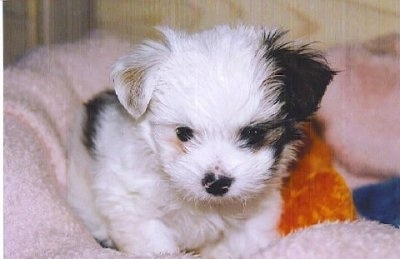 Close up front view - A white with black Shi-Chi puppy is sitting on a pink dog bed looking down.