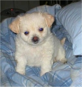 A tiny tan ShiChi puppy sitting on a blue plaid blanket looking forward and its head is tilted to the left. Its small V hsaped ears are hanging down to the sides.