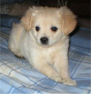 Front view - A tiny tan ShiChi puppy is laying across a bed looking to the left. The dog has soft fuzzy looking fur.