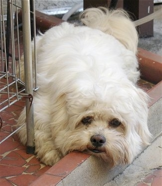 A longhaired, thick coated, white Shih Apso is laying down across a brick porch and it is looking forward. It has black eyes and a brown nose.