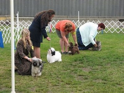 A line of people are standing and kneeling in grass behind there Havanese dogs in an outdoor show ring.
