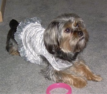 The front right side of a soft, long haired, black and tan Silky Tzu dog wearing a silver dress looking up and to the right. There is a pink ring toy on the floor next to it. The dog has an underbite.