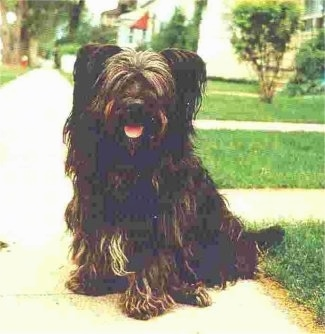 A thick coated, black with brown and white Skye Terrier is sitting across a sidewalk looking forward, its mouth is open and it looks like it is smiling. Its eyes are covered up with hair and its pink tongue is showing.