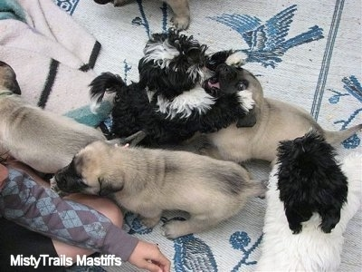 Mastiff pups with a couple of Havanese. Time to play!