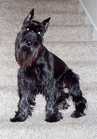 Front side view - A black Standard Schnauzer dog standing on a tan carpeted step looking forward and its head is tilted to the right. The dog has tall croped pointy ears and longer hair on its chin and legs with shorter shaved hair on its back.