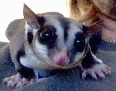 Close up - A sugar glider is laying on a person's shoulder looking over the edge.