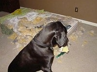 A dog sitting on a tan carpet with a chewed up mattress next to it and a piece of foam in its mouth looking down at the mess on the floor.