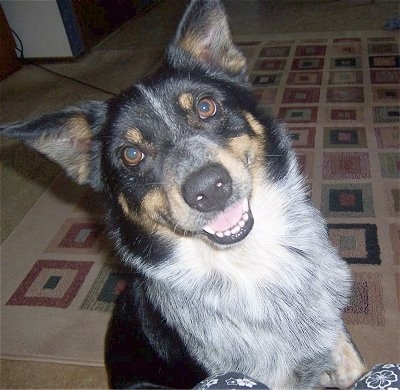 Close up - A happy looking, black with white and tan Texas Heeler dog sitting on a rug and it is looking up. Its head is tilted to the left, its mouth is open and it is looking forward. The dog has perk ears, brown eyes and a black nose.