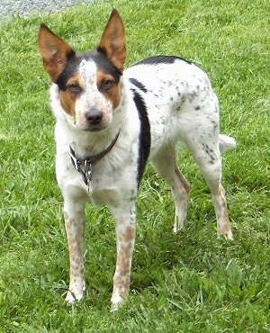 A white with black and brown Texas Heeler is standing in grass and it is looking forward. It has large pointy perk ears.