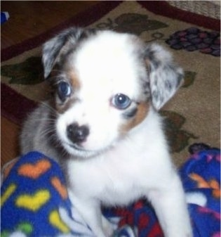 Close up - A tiny grey and white with brown Texas Heeler puppy is standing up against a blanket that is in a persons lap and it is looking to the left. The dog has drop ears and blue eyes.
