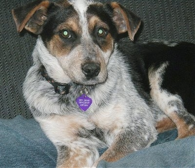Blue Heeler Australian Shepherd Mix