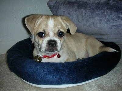 Close up front side view - A tan with white Tibetan Pug puppy is laying in a dog bed and it is looking forward.