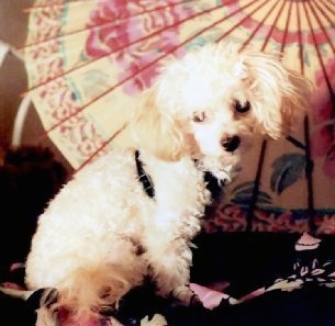 The right side of a tan Toy Poodle dog wearing a black harness looking forward sitting on a kimono shirts and there is a parasol in the background. The dog has longer fluffy hair on its ears and a black nose.