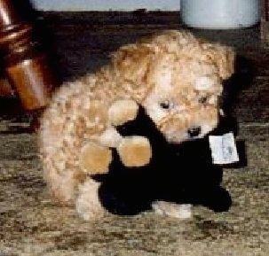 A tiny little apricot Toy Poodle puppy laying on top of a black with tan stuffed toy and it is looking down on a carpet.
