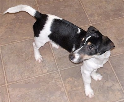 Top down view of a long bodied, tricolor black and white with tan Toy Rat Doxie dog standing across a tan tiled floor looking to the left. Its tail is level with its body and it has a long snout and a black nose.