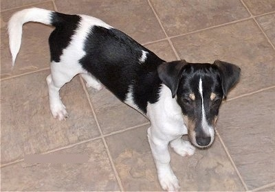 Top down view of a black and white with tan Toy Rat Doxie dog standing across a tan tiled floor looking forward. It has a long body, a long snout ears that hange down in a v-shape to the front and a tail that is level with its body.