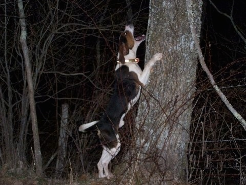 A black and white with brown Treeing Walker Coonhound dog jumping up against the side of a tree and it is barking at something that is up in the tree.