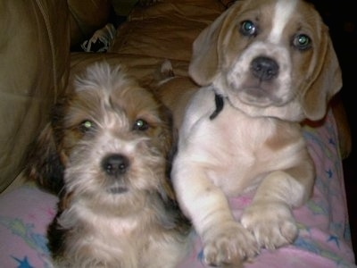 Close up front view - Two Tzu Basset puppies are laying down on a couch and they are looking up and forward. One dog has a short coat and the other has a wiry looking longer coat. They both have drop ears and a lot of extra skin with black noses.