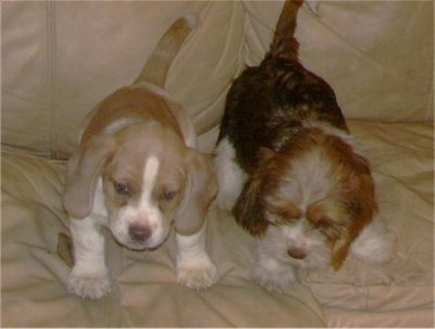 Two Tzu Basset puppies, one with a short coat and one with a wiry coat, are standing on a couch and they are looking down over the edge.
