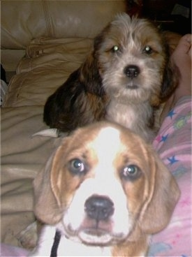 Two Tzu Basset puppies are laying on a couch down the leg of a person in pink pajamas. One dog has a short tricolor coat and the other dog has a wiry looking coat. They have round wide brown eyes.