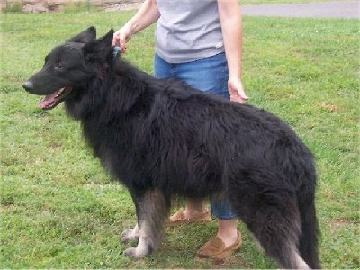 The back left side of a black with white Shiloh Shepherd that is standing in grass and in front of a person.