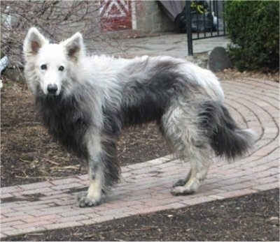 The left side of a white and black Shiloh Shepherd with VKH Syndrome that is standing across a brick walkway and it is looking forward.