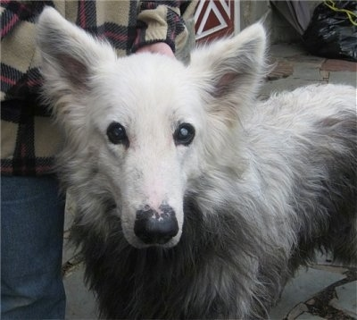 Close Up - A white and black the Shiloh Shepherd with VKH Syndrome is standing on a porch and it is looking forward.