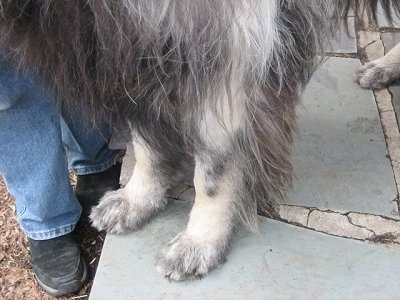 Close Up - The white legs of a Shiloh Shepherd that is afflected with VKH Syndrome.