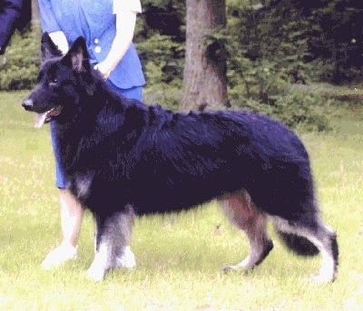 The left side of a black with white Shiloh Shepherd that is walking across a yard. There is a person behind it leading it.