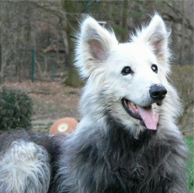 Close Up - The front right side of a white with black Shiloh Shepherd, with VKH Syndrome, that is laying in a yard