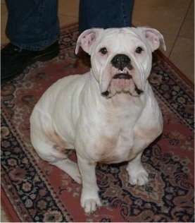 Top down view of a very wide chested, white Victorian Bulldog that is sitting on a rug. The dog has a big black nose and black on its lips with extra skin on its face. Its eyes are black. There is a person standing behind it.