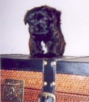 A very small black with white Westiepoo puppy is standing on top of a chest. The dog looks like a soft stuffed toy.