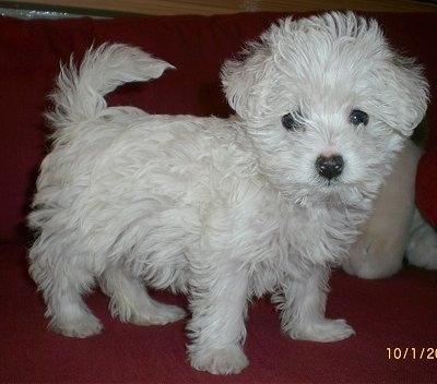 Westiepoo Dog Breed Pictures, 1