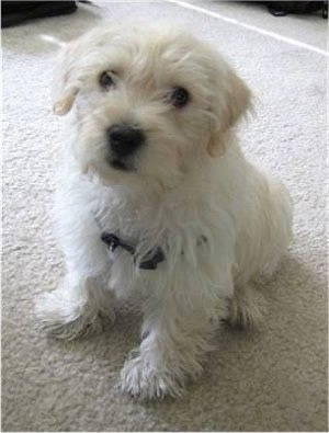 A white with tan soft looking Westiepoo puppy that is sitting on a carpet and it is looking up. The dog's nose, lips and eyes are black. Its ears hang down to the sides.