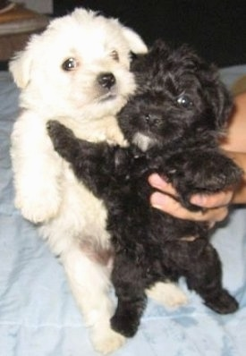 Two puppies, a white and a black pup are being held up belly out by a person's hand on a bed.