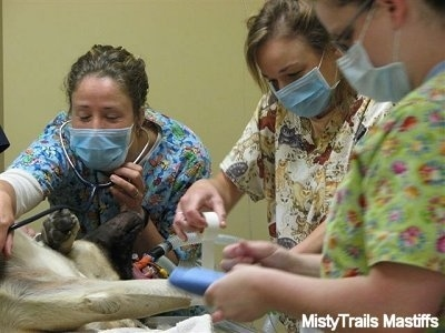 Ladies preparing a c-section on an English Mastiff
