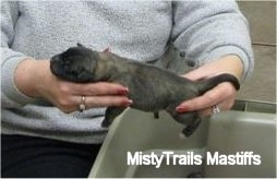 Puppy born without an anus being held by a lady